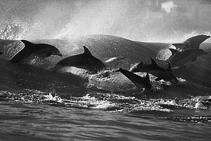 surfing-dolphins102